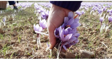 Cultivation and harvesting of saffron